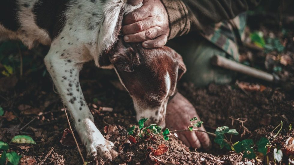 Truffle hunting with dogs